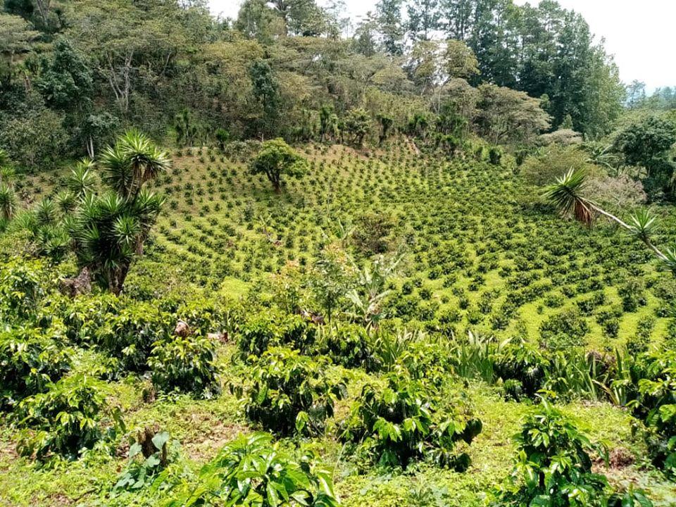 Proyecto de café con la Cooperativa COMBRIFOL en Marcala, La Paz