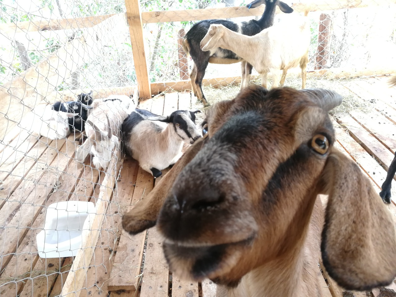 Successful goat project in Lepaterique